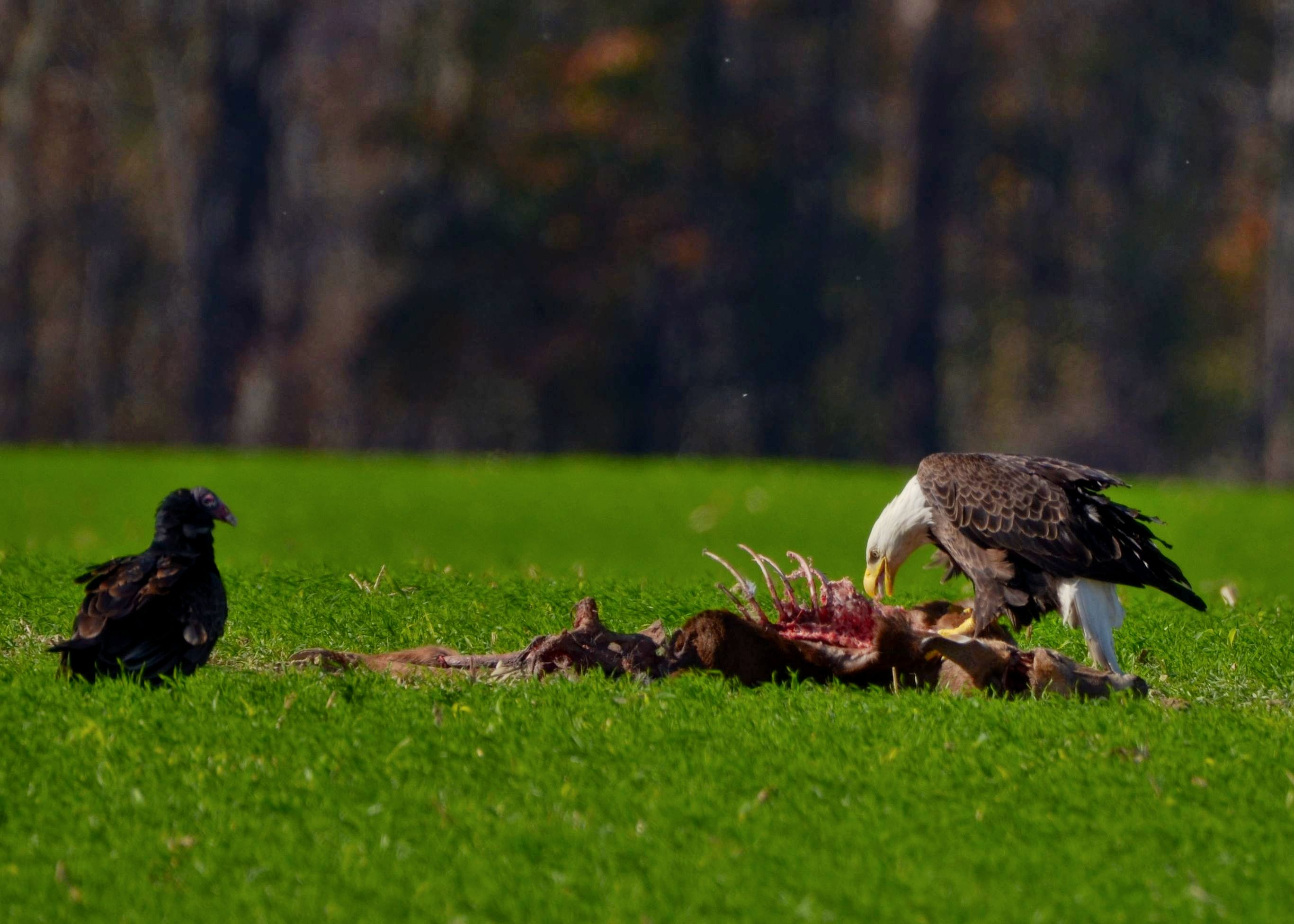 Bald Eagle and Turkey ...