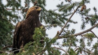 Golden Eagle in Delta, British Columbia, by Tony Joyce.