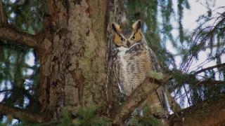 Great Horned Owl in Mt. Auburn Cemetery, Cambridge, Massachusetts, by Brian Hilsmeyer.