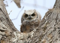 Great-Horned-Owlet-Fish-Creek-Pk