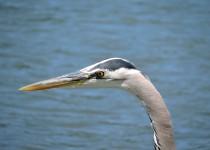Gt-Blue-Heron-Barnet-Marine-Park