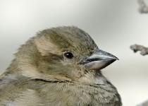 House-Sparrow-Calgary