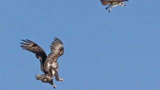 Imm.-Bald-Eagle-Osprey-Lindo-Lakes_2714