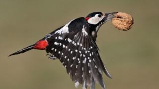 Great Spotted Woodpecker ©2016 John King