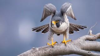 Peregrine Falcon ©2016 Joe Gliozzo