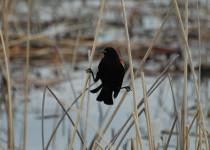 Red-winged-Blackbird-Red-Deer-Lake