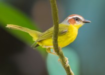 Rufus-capped-Warbler1