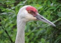 Sandhill-Crane-Burnaby-Lake