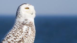 Snowy-owl-05-BW