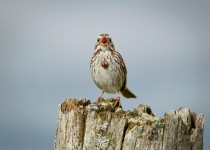 Song-Sparrow-01-BW