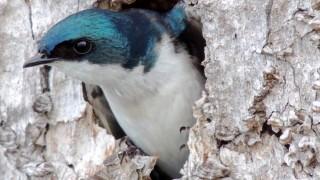 Tree Swallow ©2014 Eric Burson