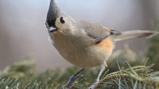 Tufted Titmouse in the Blue Ridge Mountains near Lynchburg, Virginia, January 11, 2015, by Steven Easterbrook.