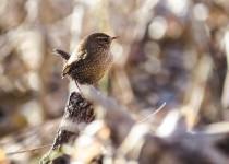 Winter-Wren