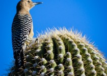 gila-woodpecker4