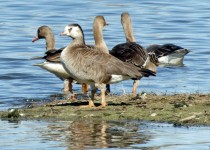 hybrid-White-fronted-Goose
