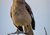 mockingbird-close3