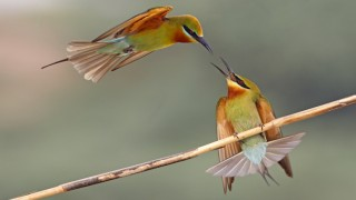 Blue-tailed Bee-eaters_660x440