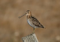 Commn-Snipe-Sadlers-Slough