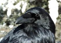 Common-Raven-Lake-Louise