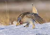 Sharp-tailed Grouse, near Bradwell, Saskatchewan