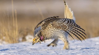 Sharp-tailed Grouse, near Bradwell, Saskatchewan
