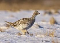 Sharp-tailed Grouse near Bradwell, Saskatchewan
