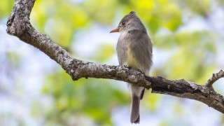 Greater-Pewee