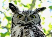 Gt-Horned-Owl-Fish-Cr-Pk