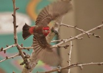 House-Finch-Take-Off
