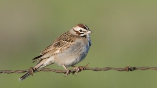 Lark Sparrow in Tooele County, Utah. Photo by Mia McPherson