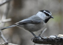 Mountain-Chickadee-Fish-Creek-Park