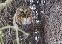 Northern-Saw-whet-Owl-2