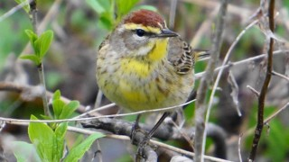 Palm Warbler, April 27, 2014, by Linda Wegs.
