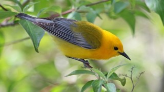 Prothonotary Warbler at Magee Marsh Wildlife Area, Ohio, May 18, 2014, by Joan Tisdale.