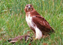Red-Tailed-Hawk-Stare