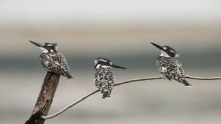 Three-Pied-Kingfishers_CMG2705_1200