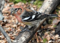 White-winged-Crossbill-Fish-Creek-Pk