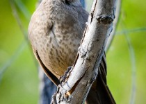curve-billed-thrasher3