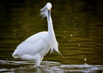 snowy-egret3