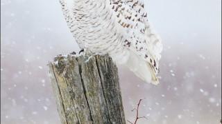 tn_Snowy-Owl_2915-1