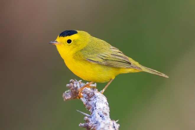 Maps show spring movements of Wilson's Warbler