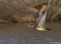 wood_duck_drake_flight-0053