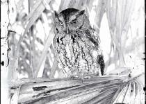 BW-Screech-Owl