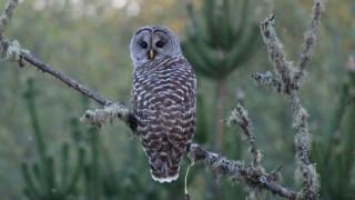 Barred Owl in Elma, Washington, by Tami Schreiner.