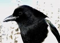 Black-billed-Magpie-Lake-Louise