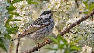 Blackpoll Warbler at Montrose Point Bird Sanctuary, Chicago, Illinois, by spiecks.