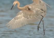 Egret-Reddish