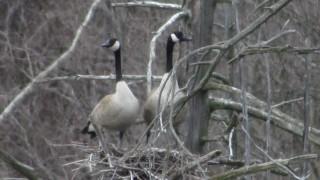 Goose-hi-rise