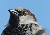 House-Sparrow-SW-Calgary