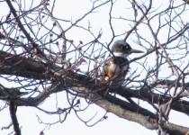 Kingfisher-FOS-MP